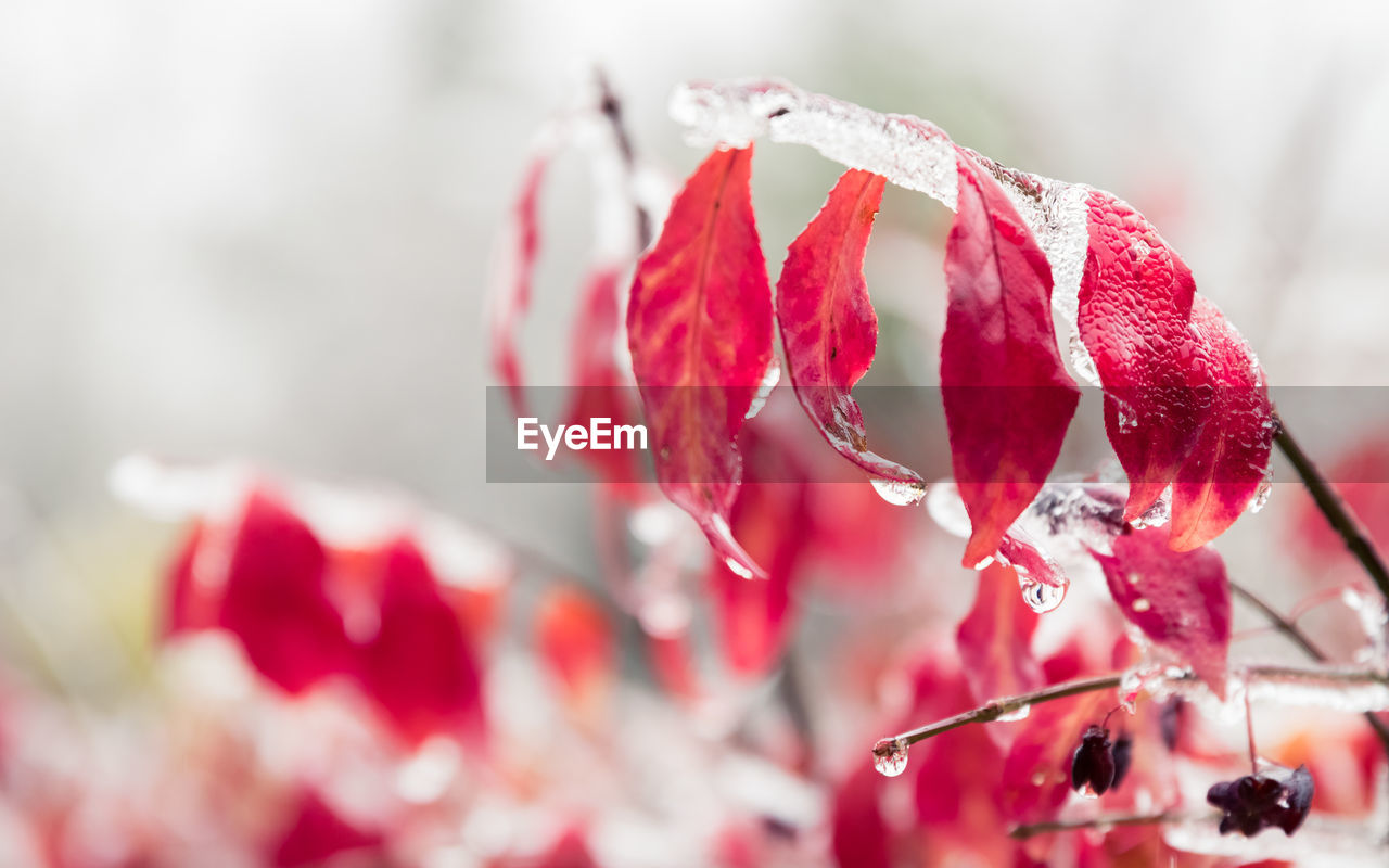 red, close-up, selective focus, no people, freshness, focus on foreground, beauty in nature, plant, nature, flower, berry fruit, flowering plant, day, growth, petal, vulnerability, outdoors, fragility, food and drink, fruit, flower head, ripe