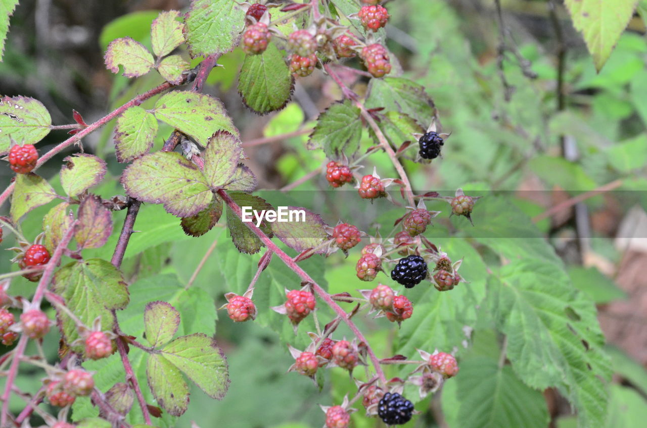 Close-up of berries growing on shrub