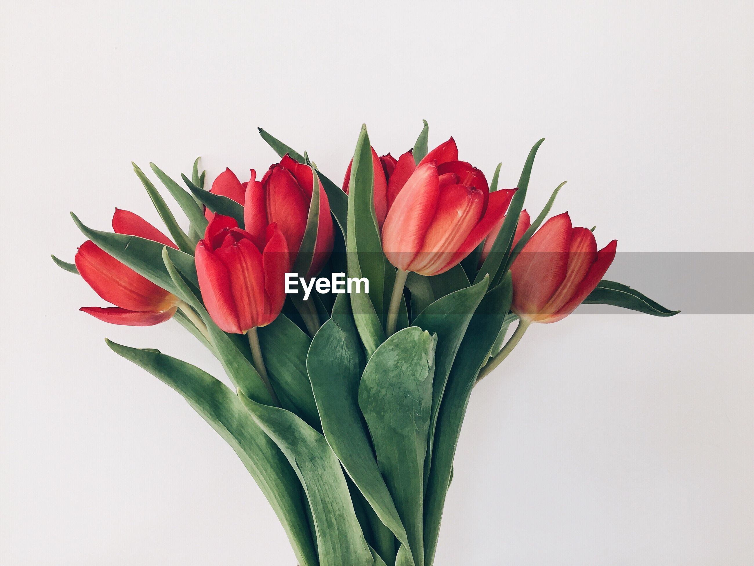 Close-up of red tulips on white background