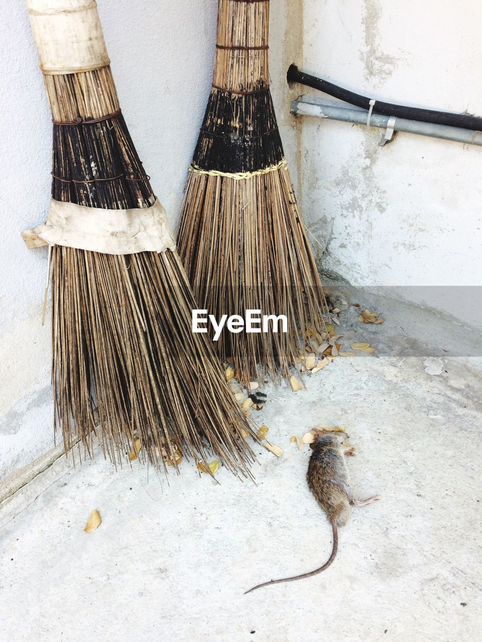 Dead rat by brooms against wall