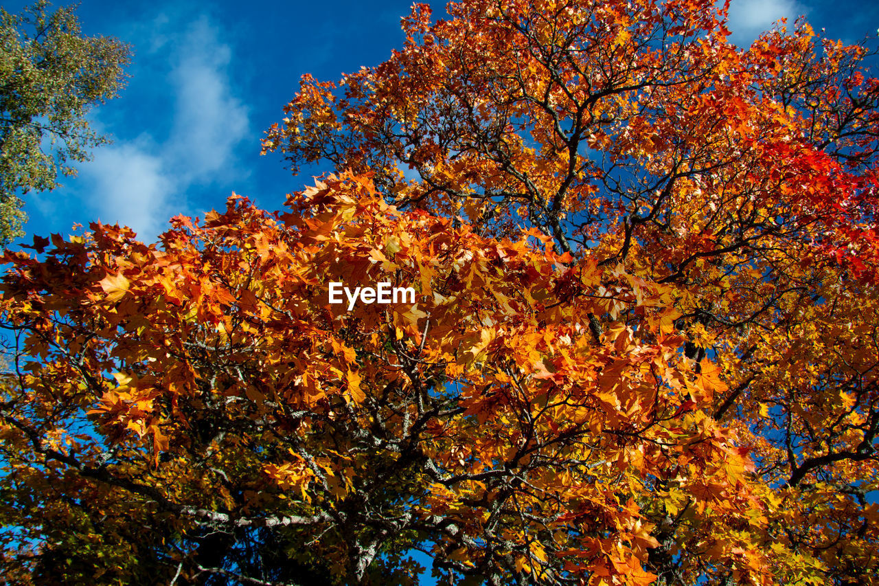 autumn, tree, change, plant, beauty in nature, low angle view, sky, orange color, nature, growth, no people, branch, day, cloud - sky, outdoors, plant part, leaf, tranquility, blue, yellow, fall, autumn collection, natural condition, cherry blossom