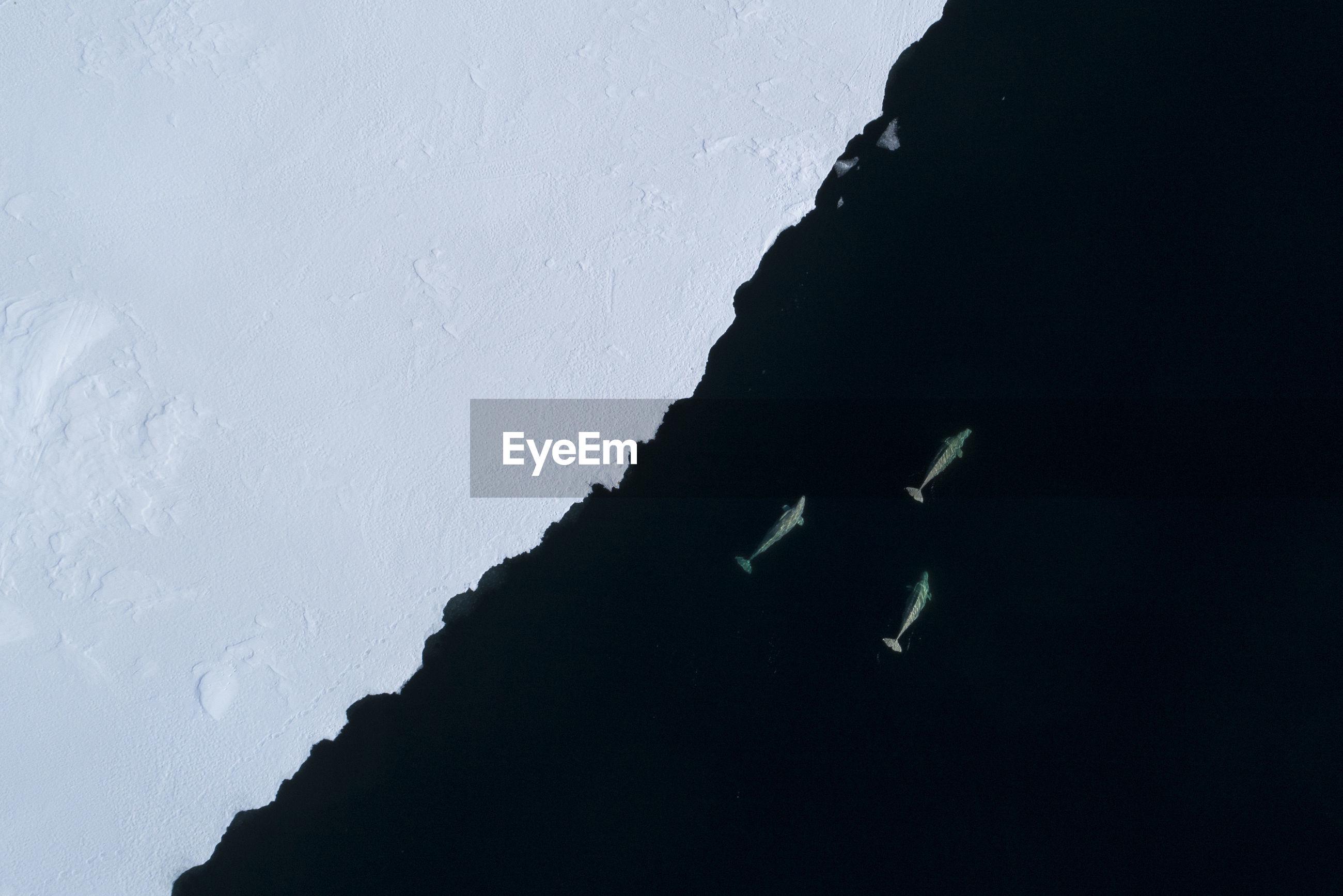 Beluga whales feeding at the ice edge on svalbard, the arctic.
