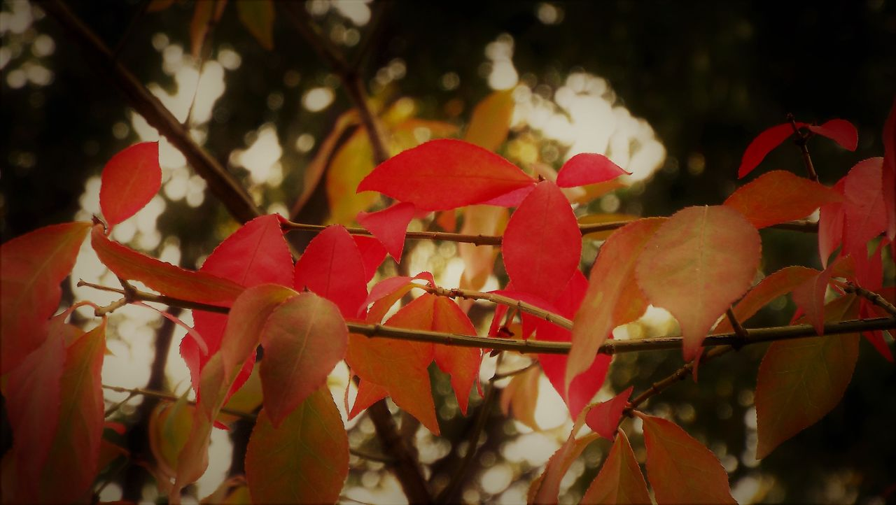 red, nature, focus on foreground, growth, close-up, tree, no people, plant, outdoors, beauty in nature, day, leaf, flower, fragility, flower head