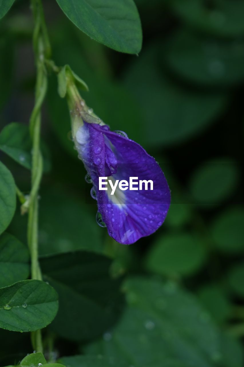 flower, beauty in nature, purple, nature, fragility, growth, water, leaf, petal, drop, plant, freshness, wet, no people, day, green color, outdoors, raindrop, close-up, flower head