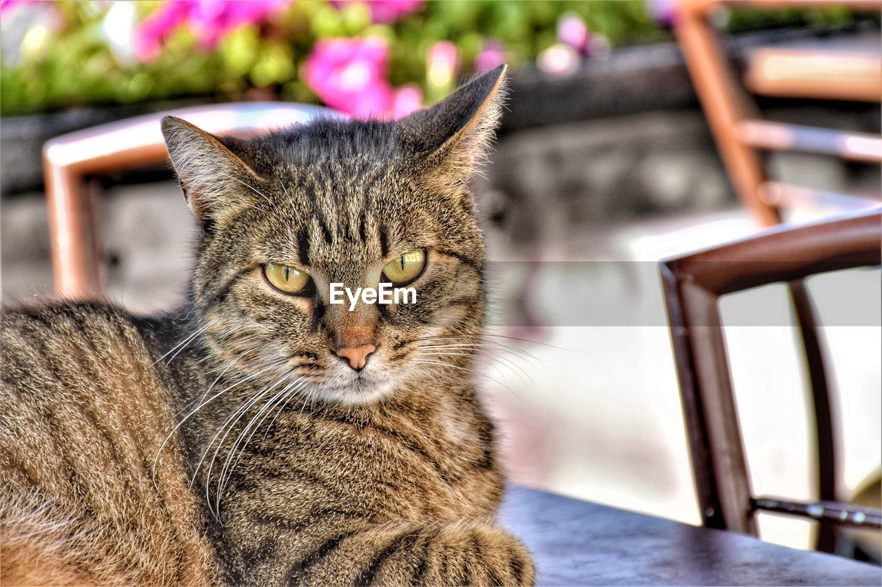 cat, feline, pets, domestic animals, domestic, mammal, domestic cat, animal themes, one animal, animal, focus on foreground, vertebrate, no people, whisker, relaxation, seat, close-up, looking at camera, portrait, table, tabby, animal eye, yellow eyes