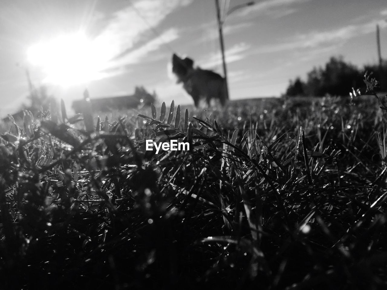 animal themes, pets, field, domestic animals, one animal, mammal, grass, sky, no people, nature, growth, silhouette, outdoors, dog, plant, sunset, day