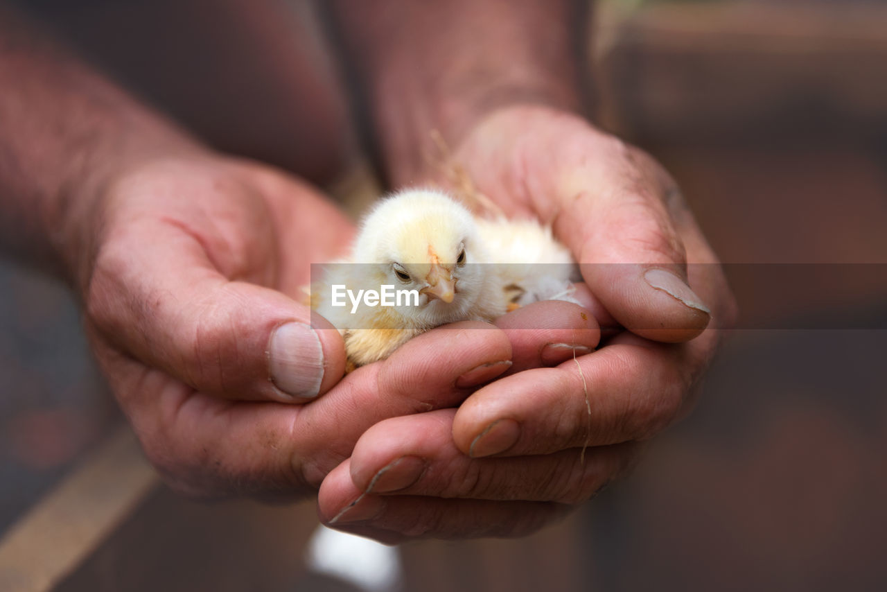Cropped Image Of Hands Holding Baby Chicken