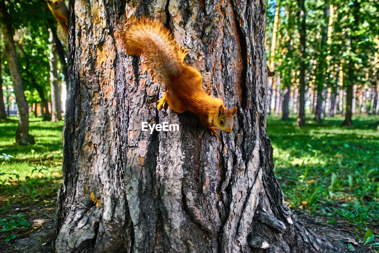 tree, tree trunk, trunk, plant, animal, animal themes, nature, animal wildlife, day, animals in the wild, no people, one animal, squirrel, focus on foreground, outdoors, rodent, mammal, wood - material, close-up, land, bark