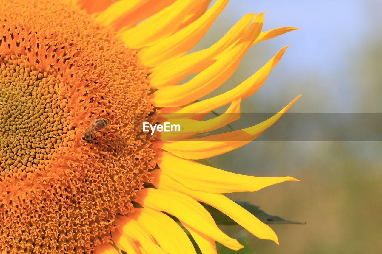 High angle view of honey bee on sunflower