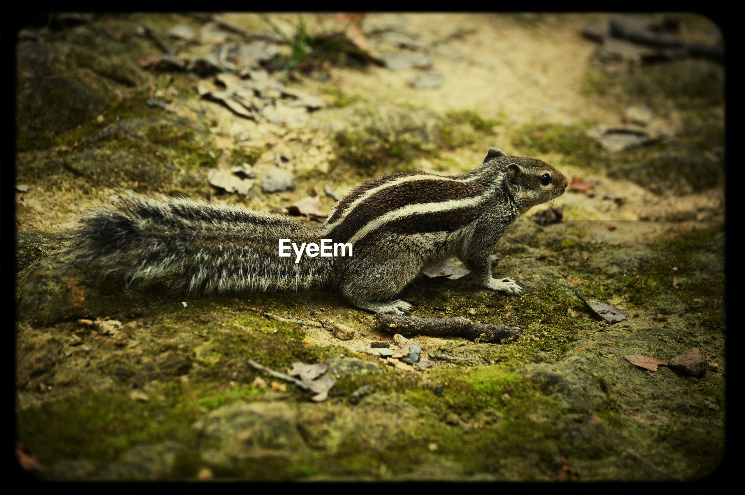 animal themes, animals in the wild, one animal, wildlife, reptile, field, lizard, nature, grass, side view, full length, high angle view, auto post production filter, day, zoology, outdoors, selective focus, close-up, no people, transfer print