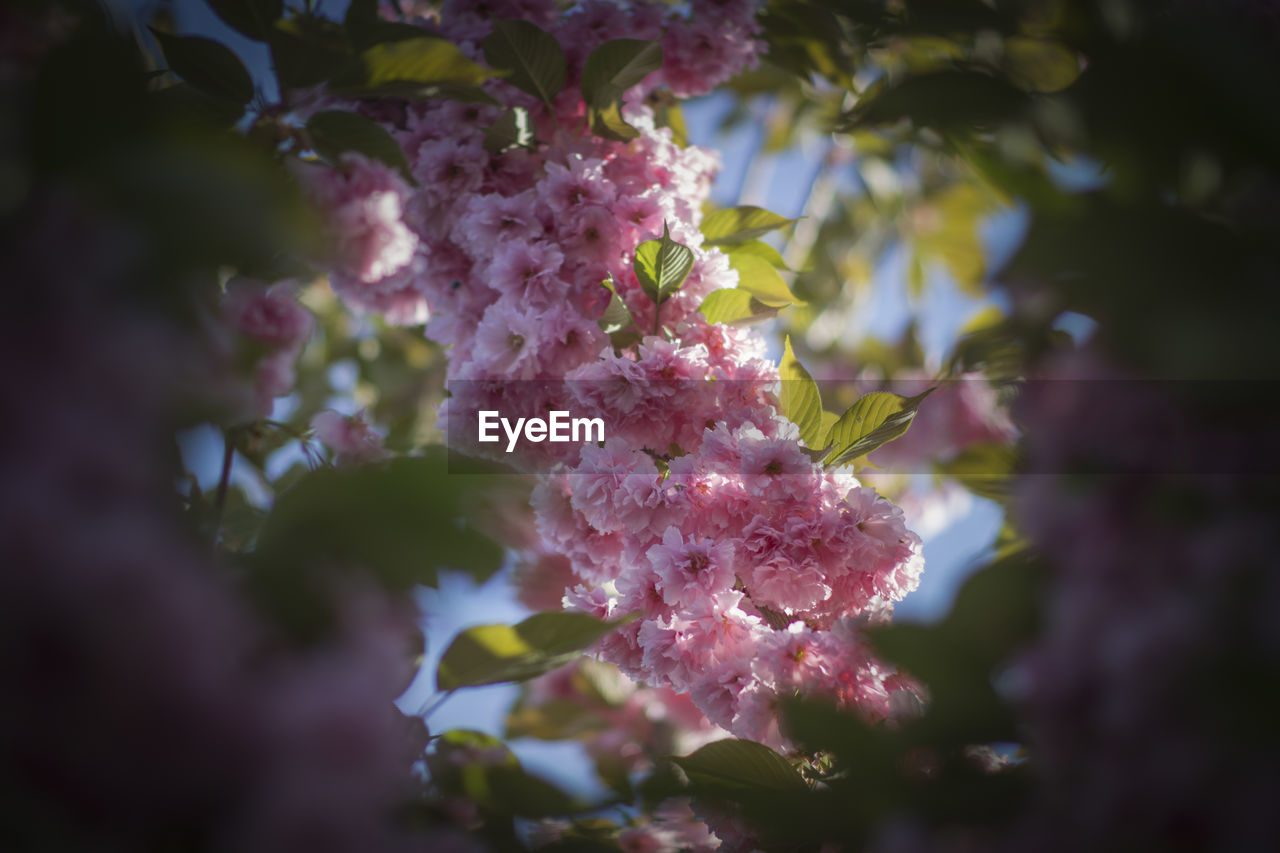 growth, plant, flowering plant, freshness, beauty in nature, flower, pink color, vulnerability, fragility, selective focus, close-up, nature, day, no people, blossom, tree, outdoors, botany, petal, springtime, lilac, purple, bunch of flowers