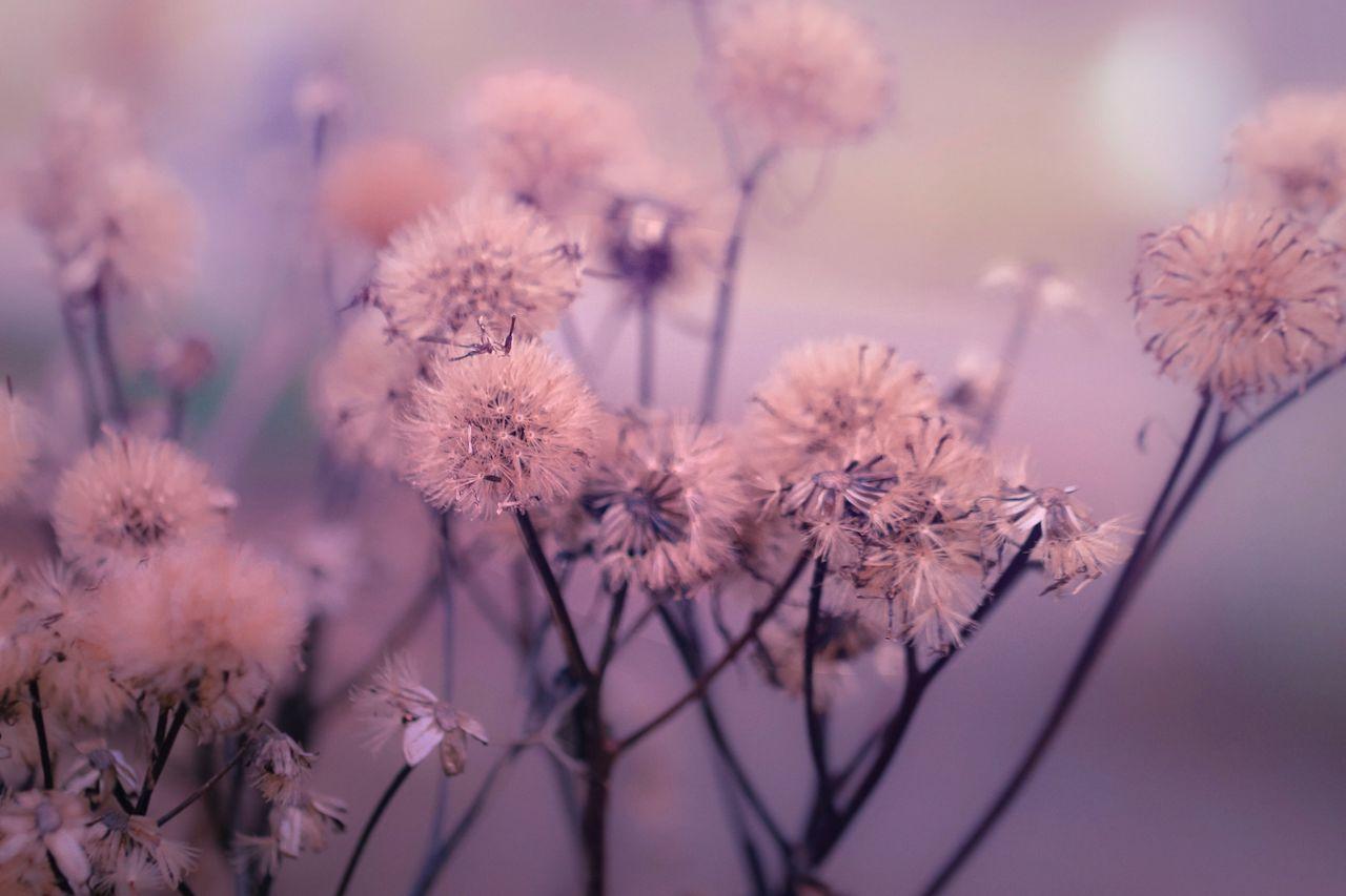 Close-Up Of Dandelions