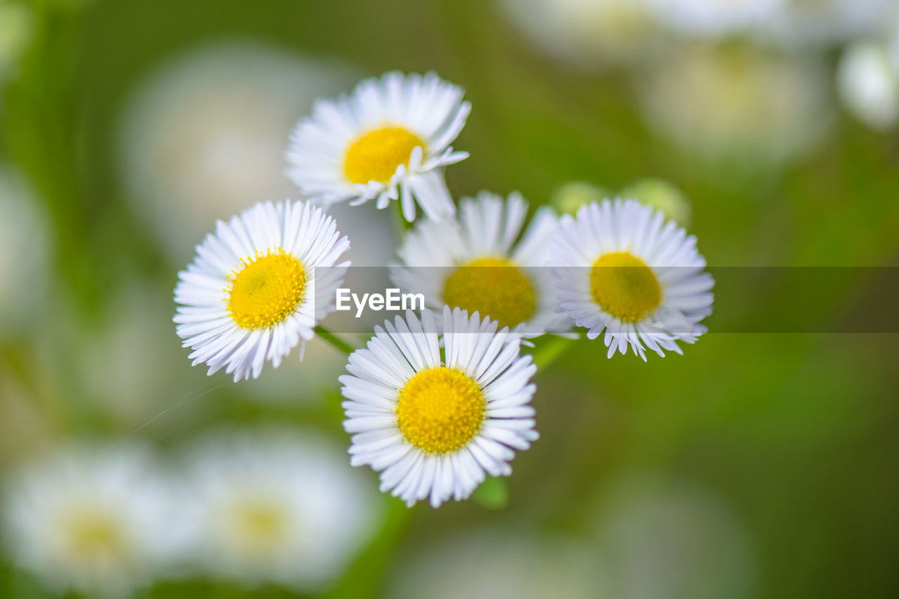 flower, flowering plant, plant, freshness, fragility, vulnerability, growth, flower head, beauty in nature, petal, inflorescence, close-up, yellow, white color, focus on foreground, pollen, day, daisy, nature, no people