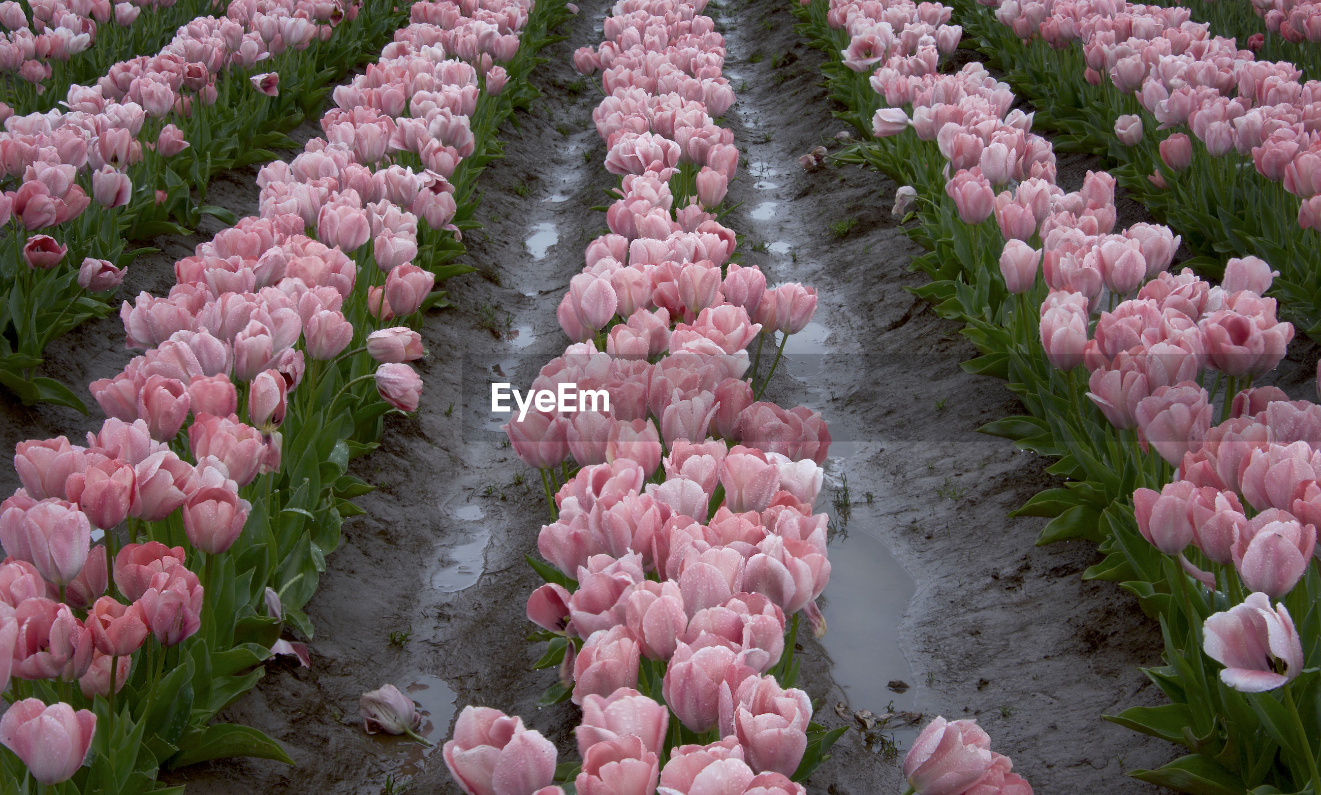 HIGH ANGLE VIEW OF PINK TULIP FLOWERS IN GARDEN