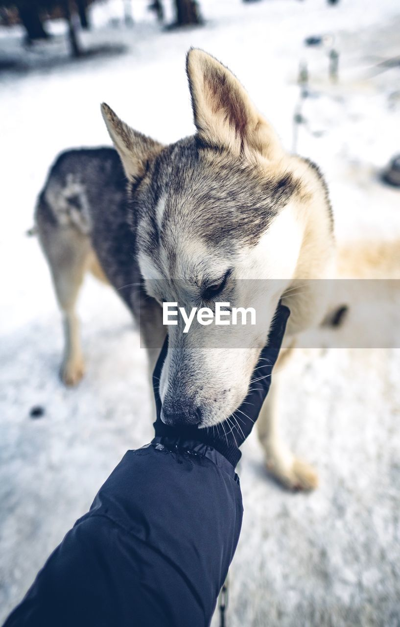 animal themes, animal, domestic animals, one animal, mammal, domestic, pets, vertebrate, canine, dog, winter, snow, cold temperature, human body part, human hand, real people, one person, hand, day, focus on foreground, outdoors, pet owner, animal head