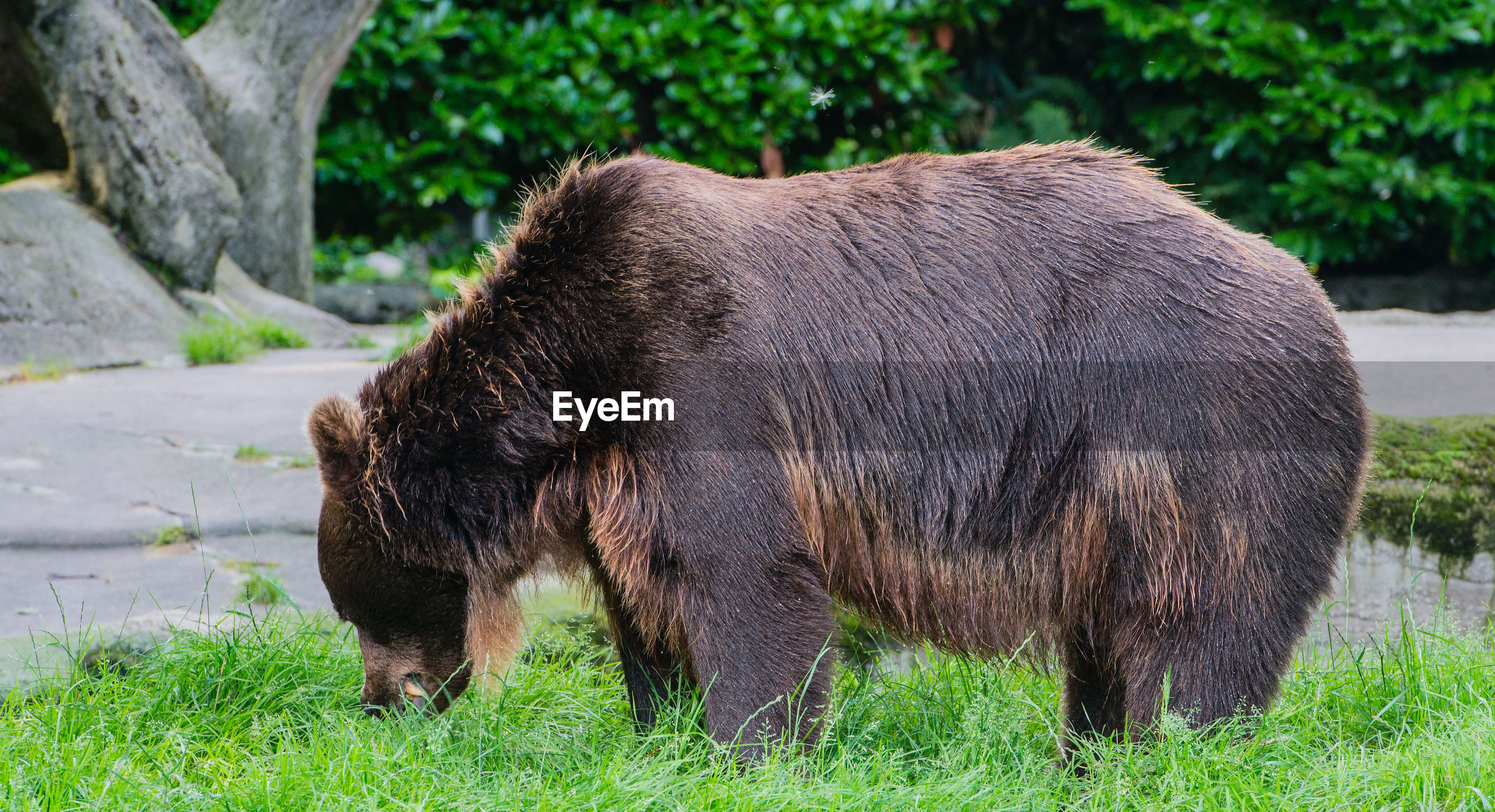 Close-up of bear standing on grassy field in forest