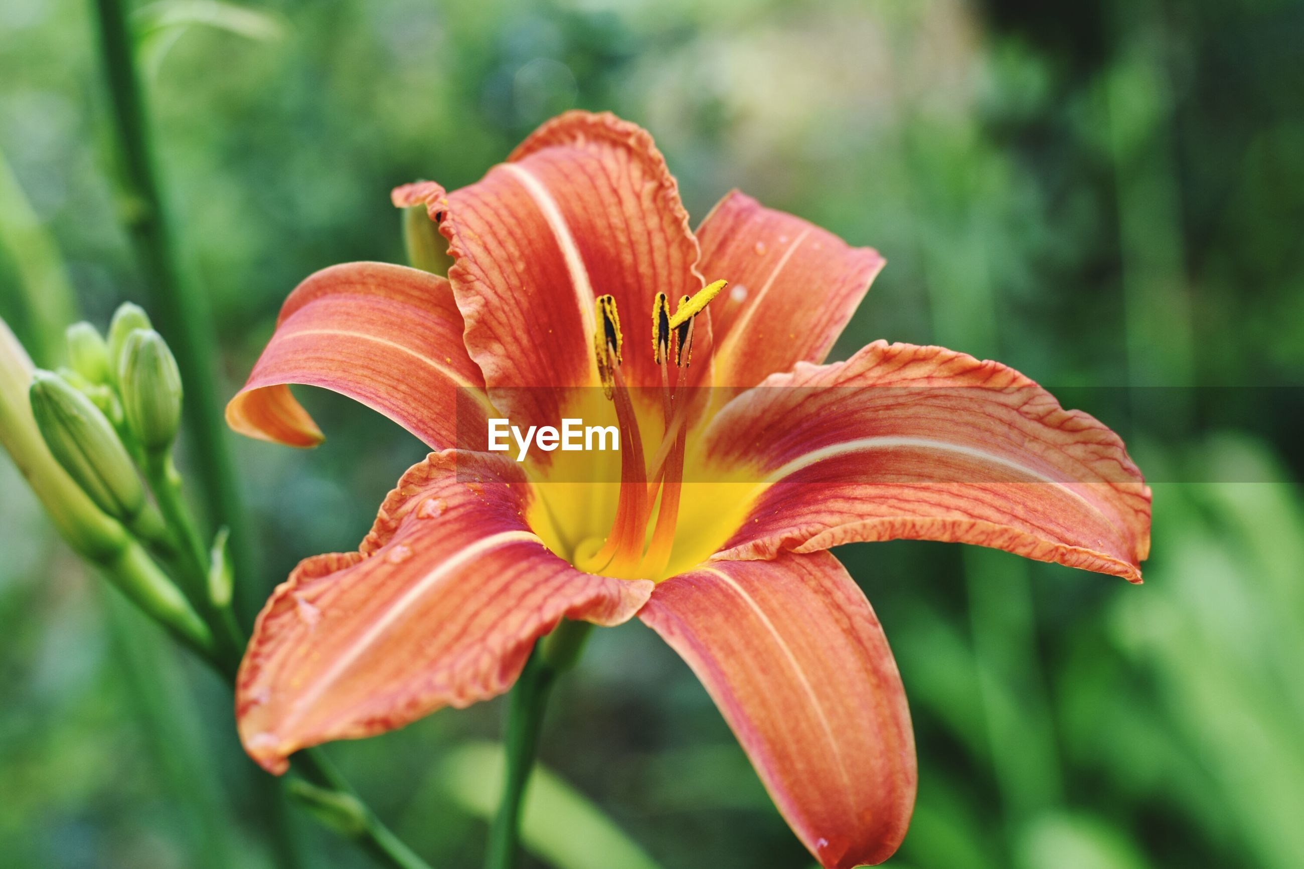 CLOSE-UP OF DAY LILY WITH ORANGE FLOWER