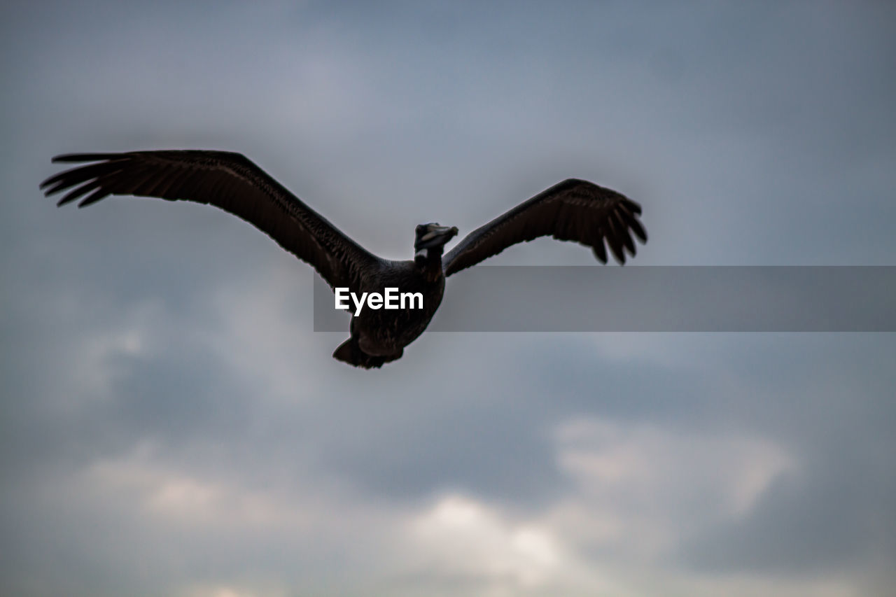 flying, bird, one animal, animals in the wild, spread wings, animal themes, mid-air, low angle view, nature, sky, animal wildlife, cloud - sky, outdoors, day, no people, beauty in nature, bird of prey