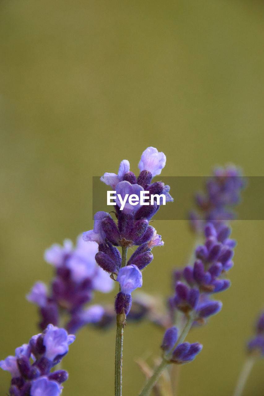 flowering plant, flower, vulnerability, fragility, beauty in nature, plant, purple, growth, freshness, close-up, petal, nature, focus on foreground, no people, flower head, inflorescence, day, lavender, selective focus, outdoors