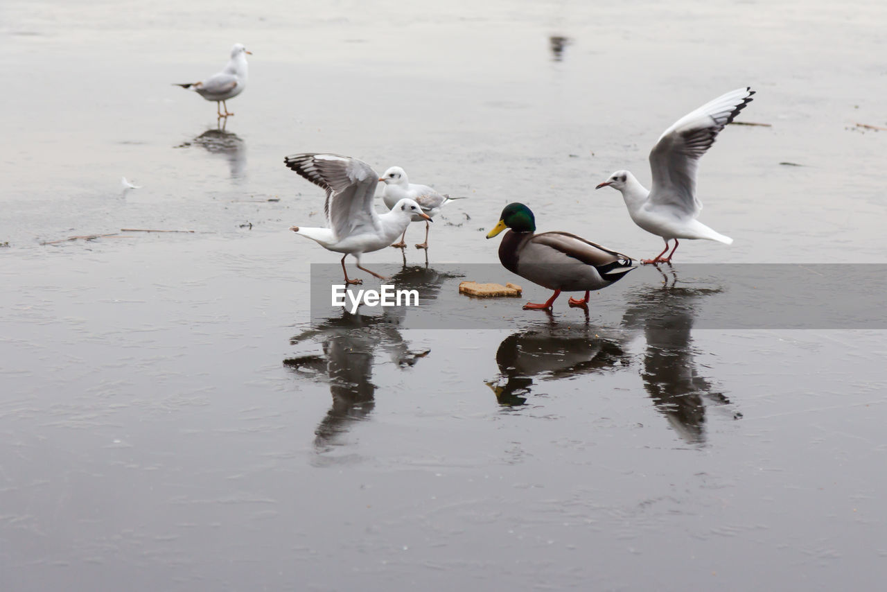water, animals in the wild, animal wildlife, bird, group of animals, animal themes, animal, vertebrate, lake, day, reflection, waterfront, no people, nature, beauty in nature, outdoors, beach, flying, white color, seagull, flock of birds