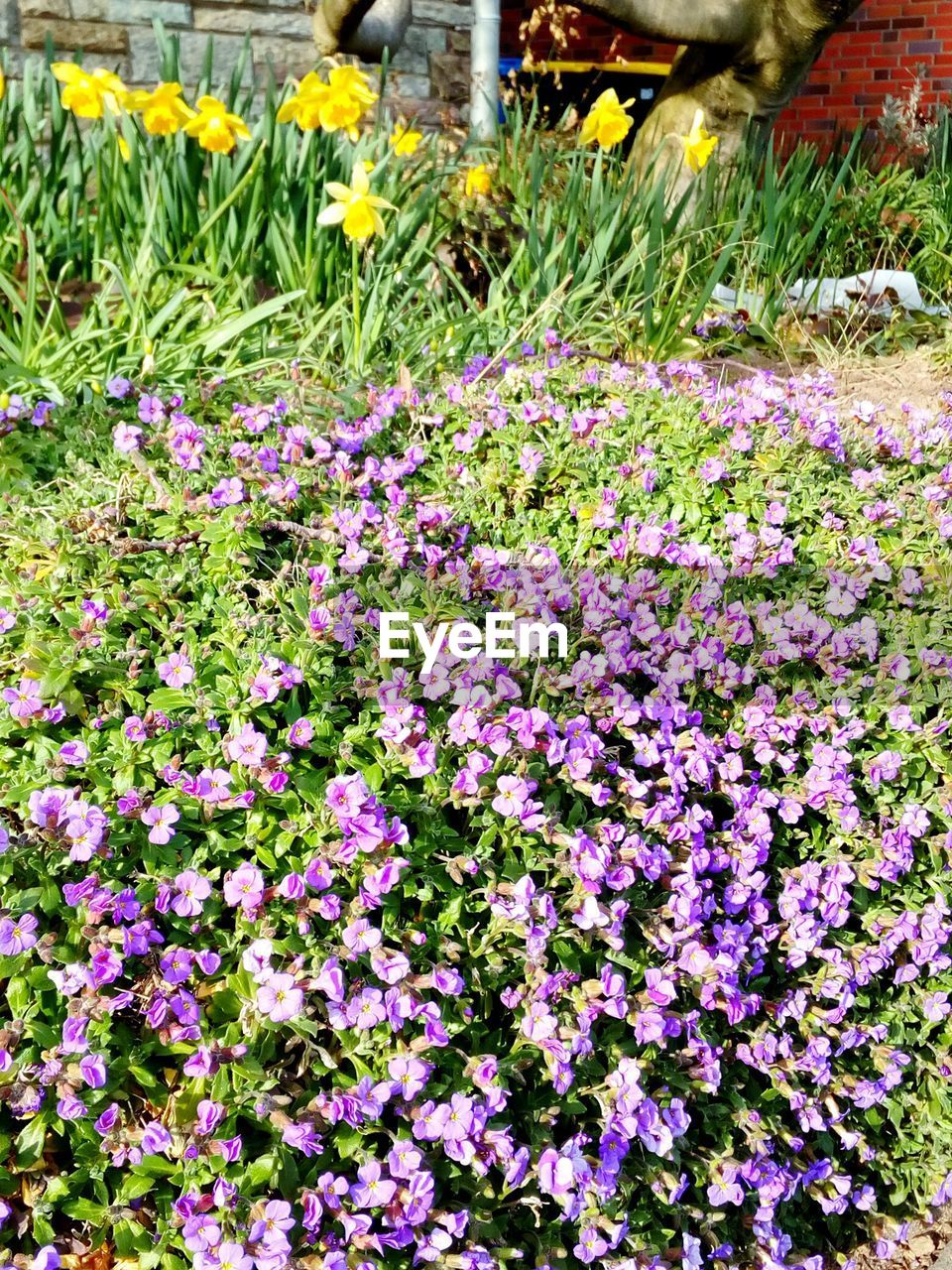 flower, growth, plant, fragility, beauty in nature, freshness, nature, petal, blooming, no people, day, outdoors, flowerbed, springtime, flower head, close-up, petunia