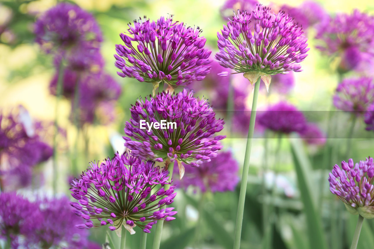 flower, flowering plant, vulnerability, fragility, beauty in nature, plant, freshness, growth, close-up, focus on foreground, purple, flower head, petal, inflorescence, day, nature, no people, outdoors, pink color, botany