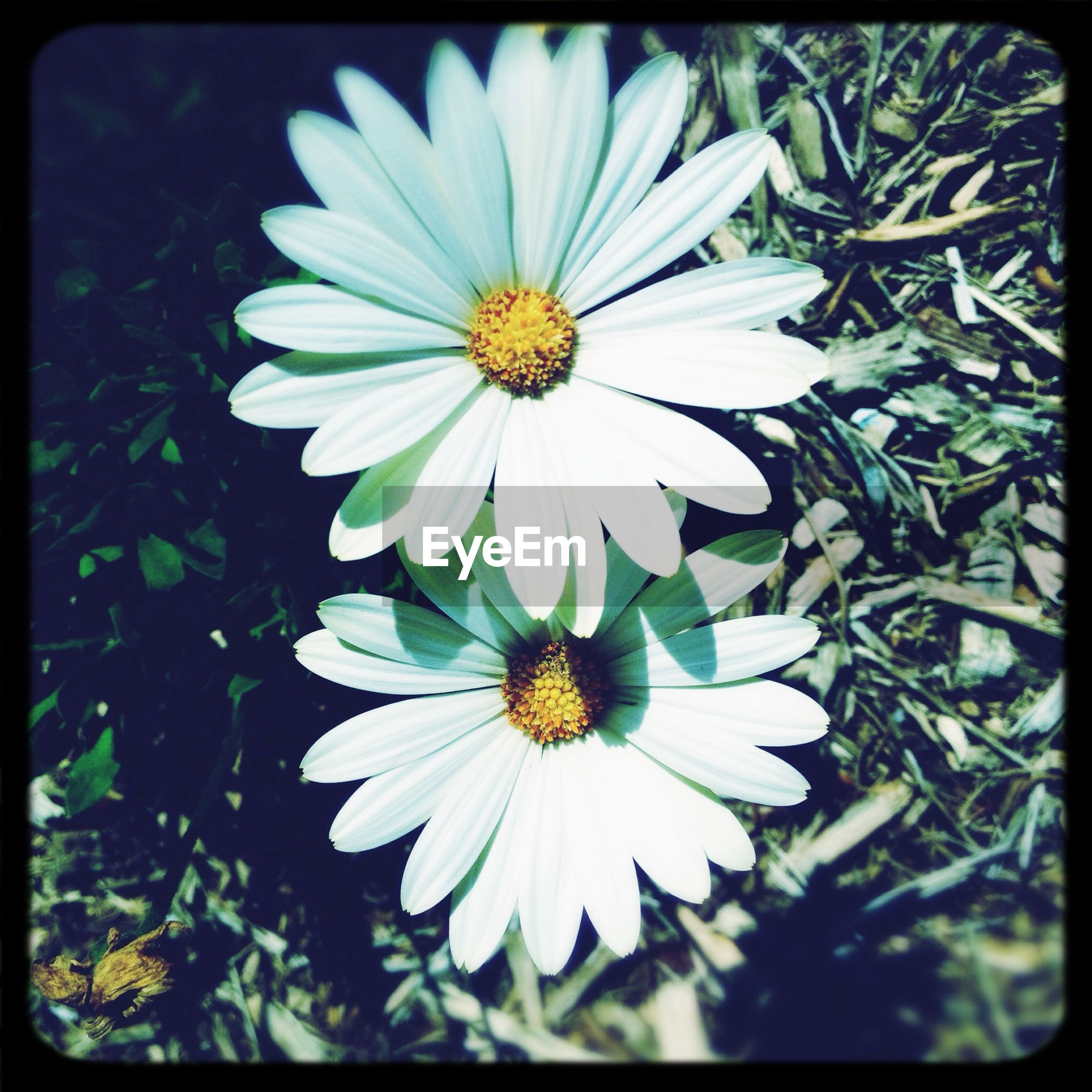 flower, transfer print, petal, freshness, flower head, fragility, auto post production filter, growth, beauty in nature, blooming, pollen, white color, nature, daisy, plant, close-up, high angle view, field, focus on foreground, day