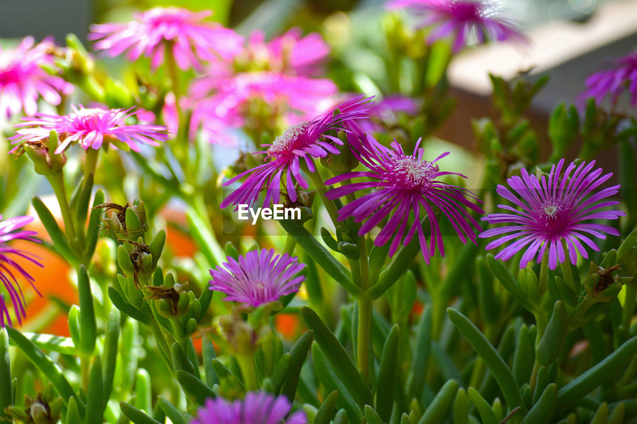 flowering plant, flower, plant, beauty in nature, growth, freshness, fragility, vulnerability, petal, close-up, flower head, inflorescence, purple, nature, no people, day, selective focus, green color, pink color, focus on foreground