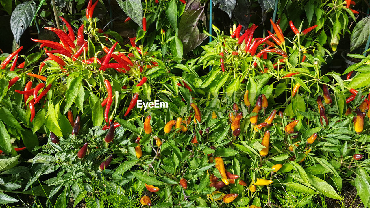growth, green color, plant, freshness, no people, beauty in nature, plant part, nature, leaf, day, close-up, food, flower, flowering plant, food and drink, red, full frame, high angle view, chili pepper, botany