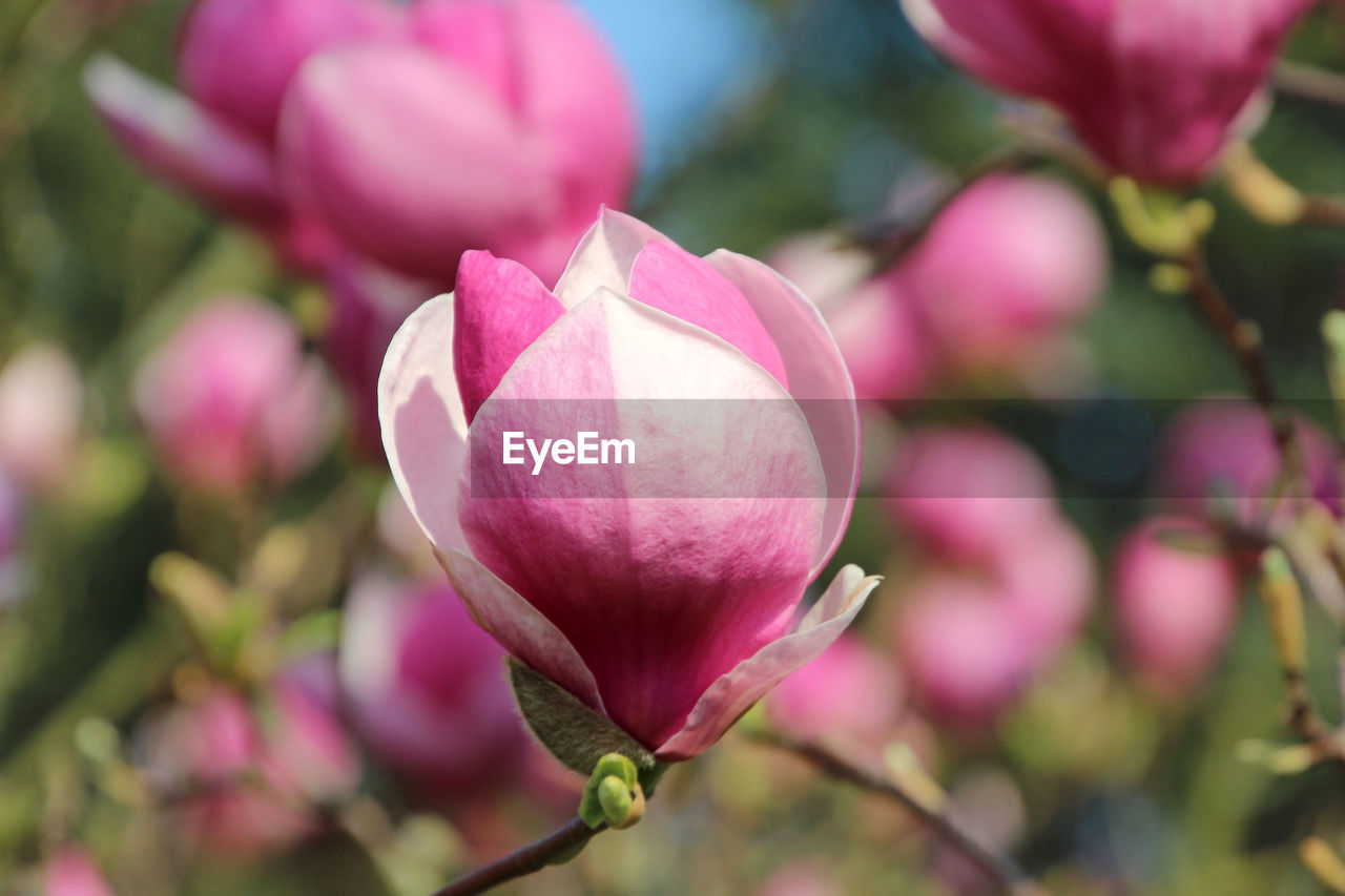 flowering plant, flower, pink color, freshness, plant, fragility, beauty in nature, vulnerability, growth, petal, close-up, focus on foreground, flower head, inflorescence, no people, day, nature, bud, magnolia, selective focus, springtime, outdoors, purple, softness