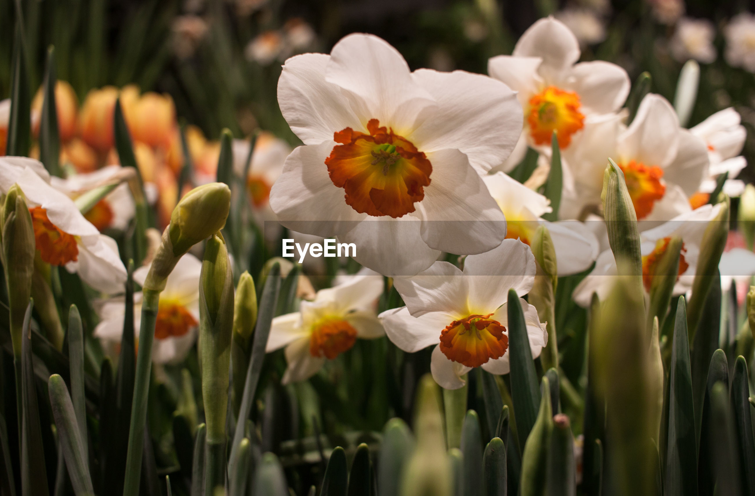 CLOSE-UP OF FRESH WHITE DAFFODIL FLOWERS
