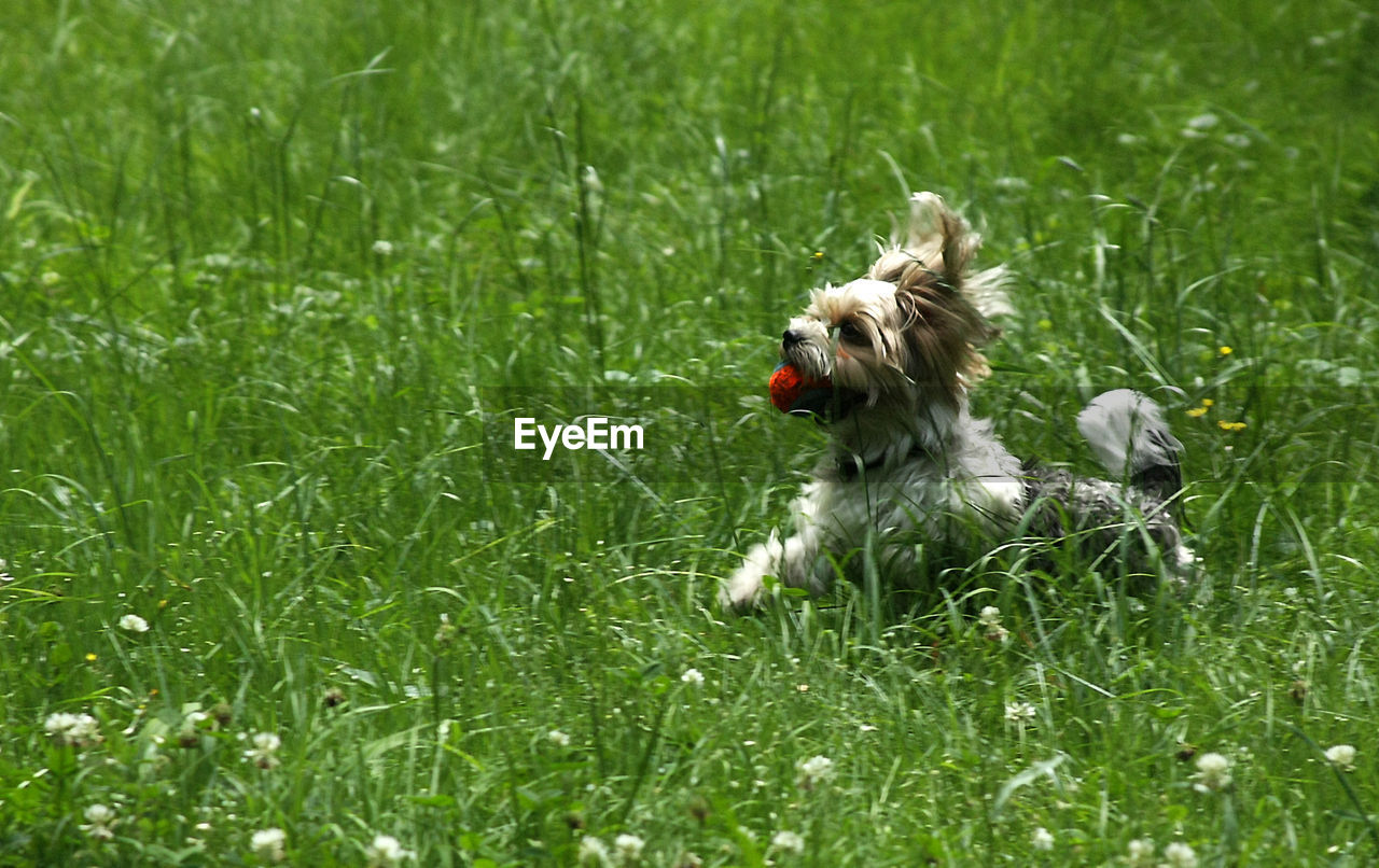 Side view of dog carrying ball on grassy field
