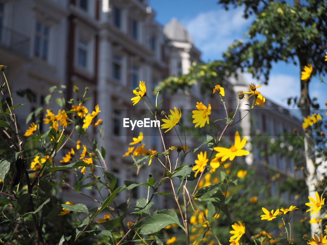 CLOSE-UP OF YELLOW FLOWERING PLANTS AGAINST BUILDINGS