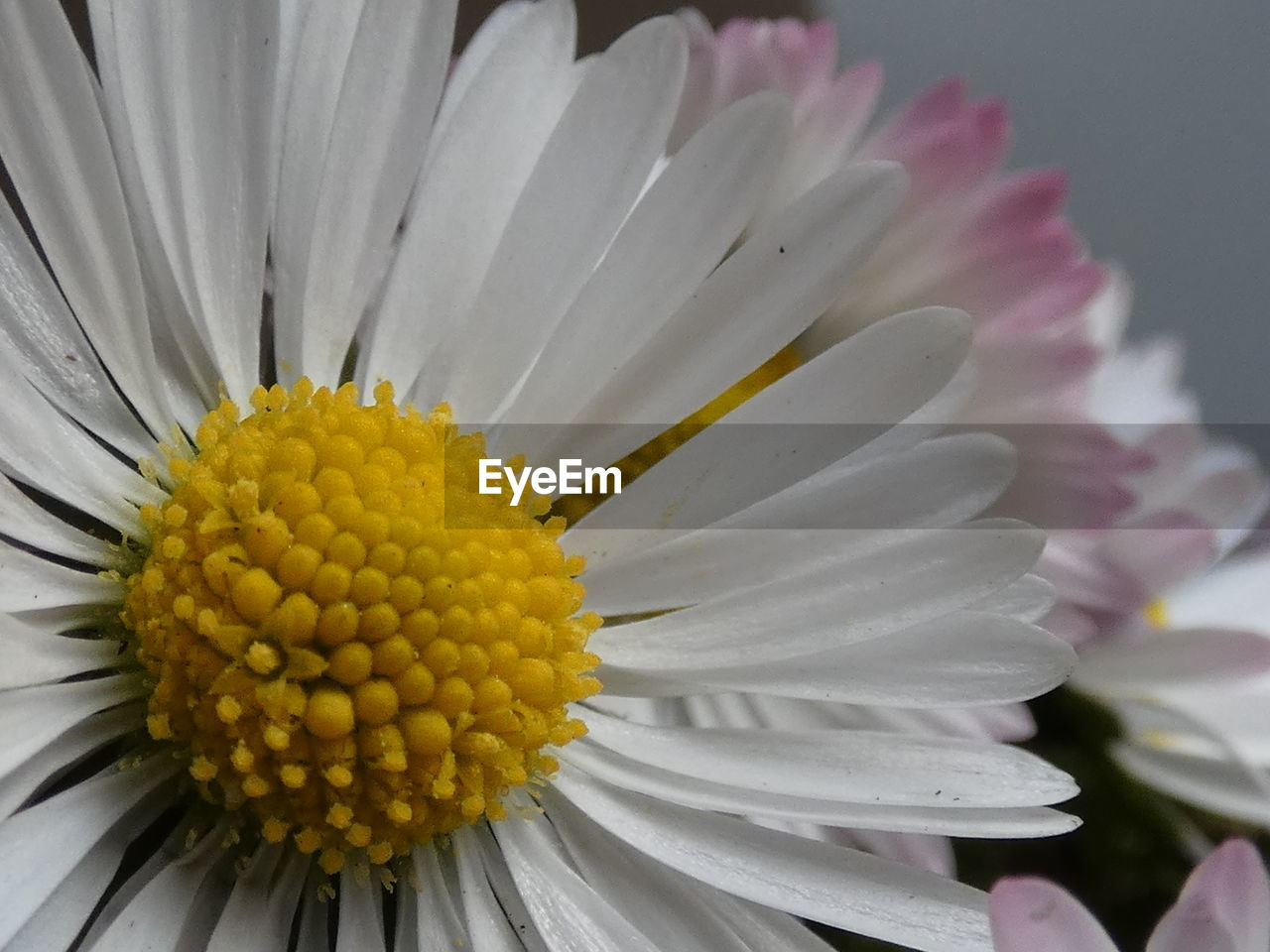 flower, flowering plant, beauty in nature, flower head, freshness, inflorescence, petal, plant, vulnerability, growth, close-up, fragility, pollen, yellow, no people, focus on foreground, white color, nature, daisy, gazania