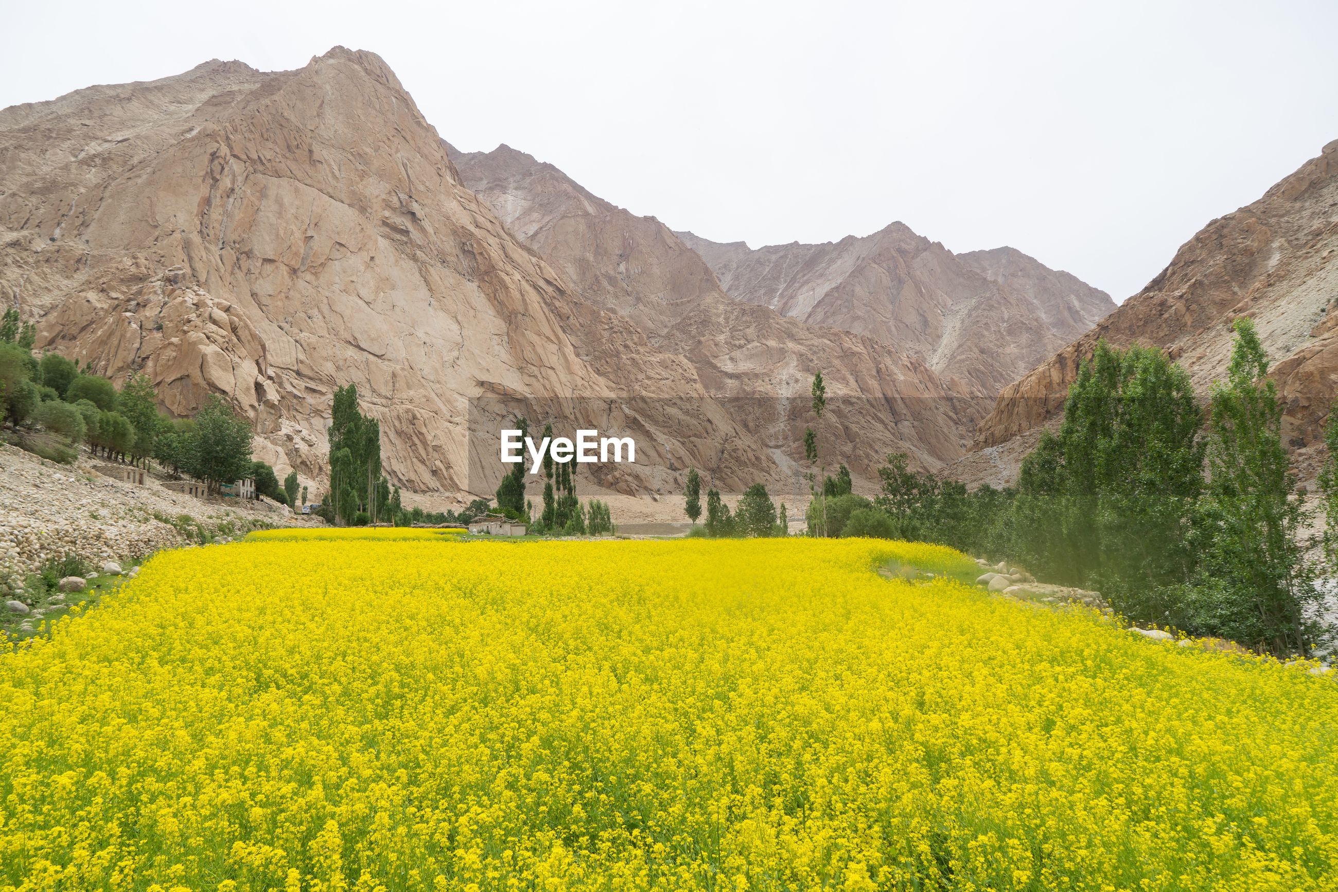 SCENIC VIEW OF YELLOW FLOWERING PLANTS AND MOUNTAINS