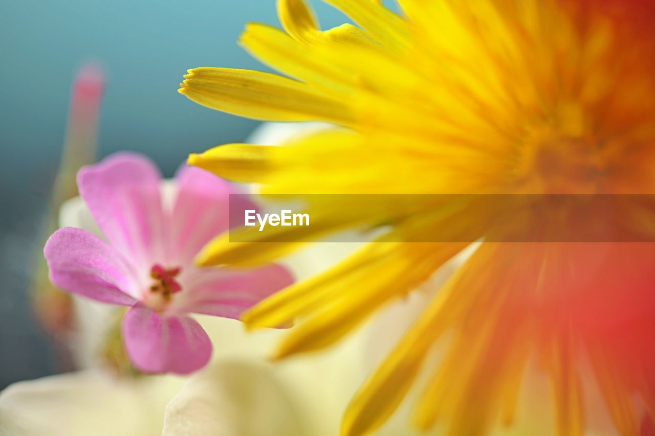 flowering plant, flower, fragility, petal, vulnerability, freshness, beauty in nature, flower head, inflorescence, plant, close-up, yellow, growth, nature, no people, pollen, pink color, selective focus, day, focus on foreground, outdoors, softness
