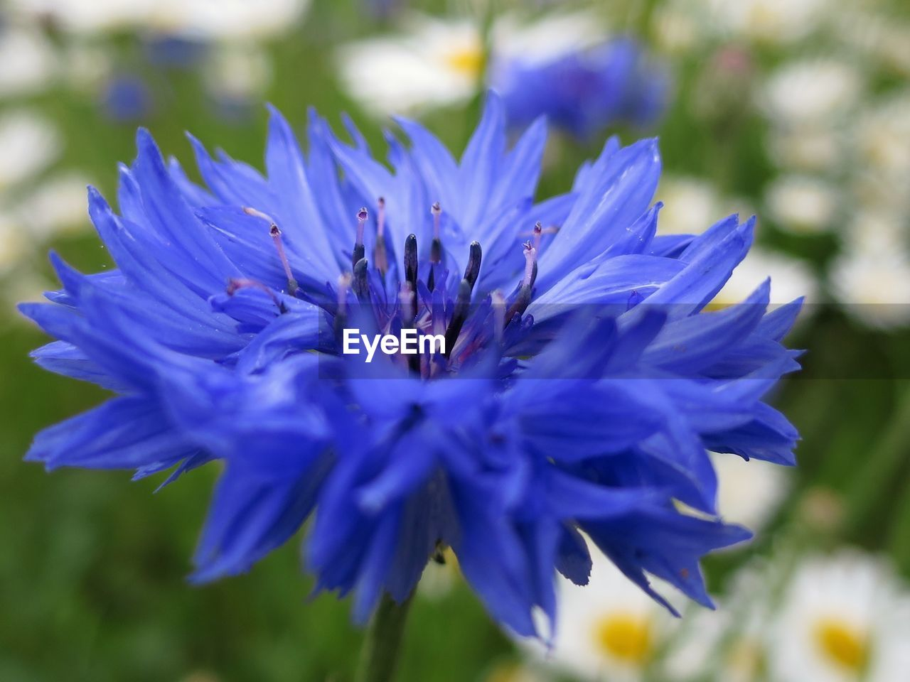 flower, nature, beauty in nature, petal, fragility, growth, freshness, plant, no people, purple, blue, flower head, outdoors, close-up, focus on foreground, blooming, day