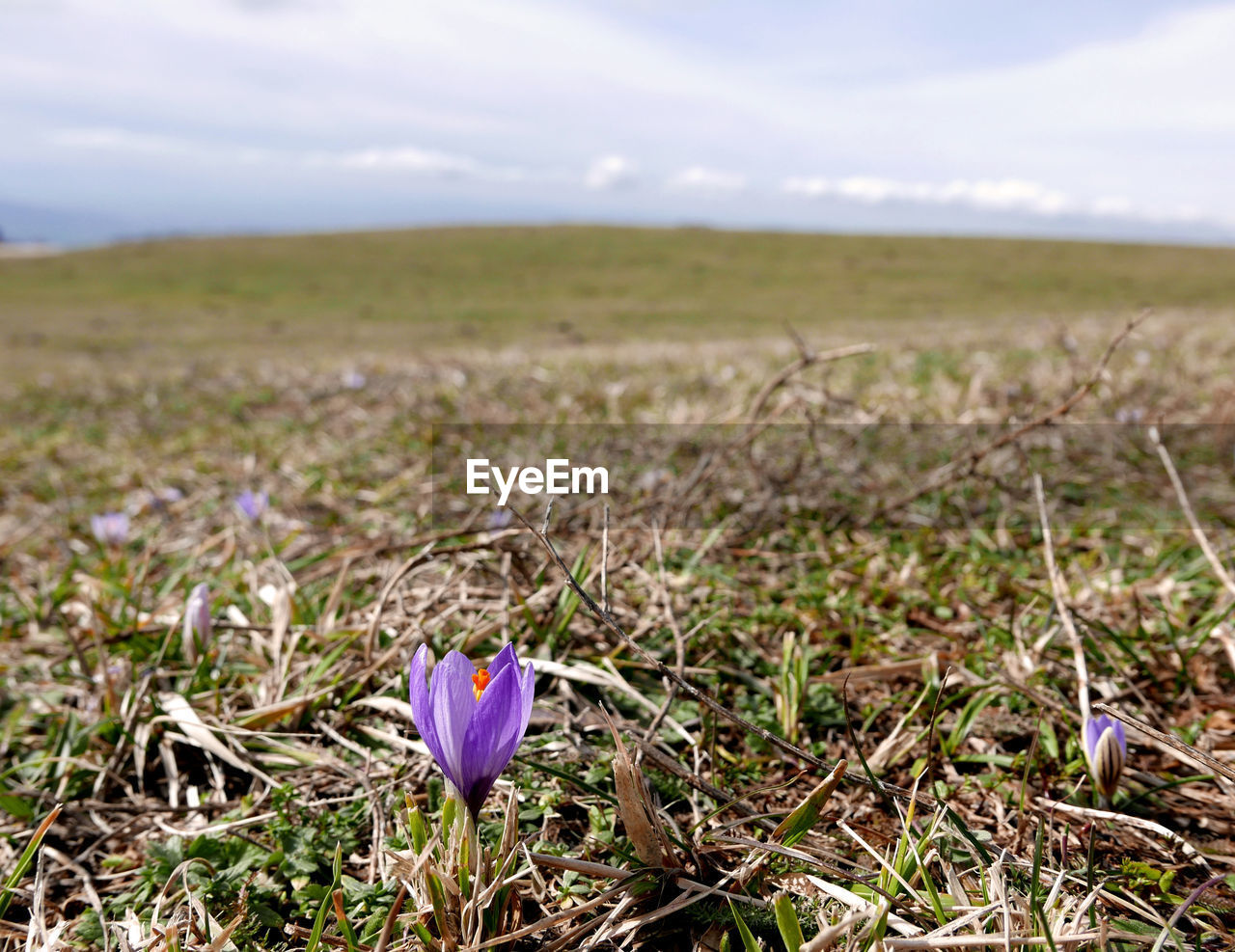 flower, flowering plant, plant, beauty in nature, vulnerability, growth, fragility, land, field, freshness, landscape, nature, purple, sky, day, environment, no people, cloud - sky, tranquility, focus on foreground, iris, crocus, outdoors, flower head