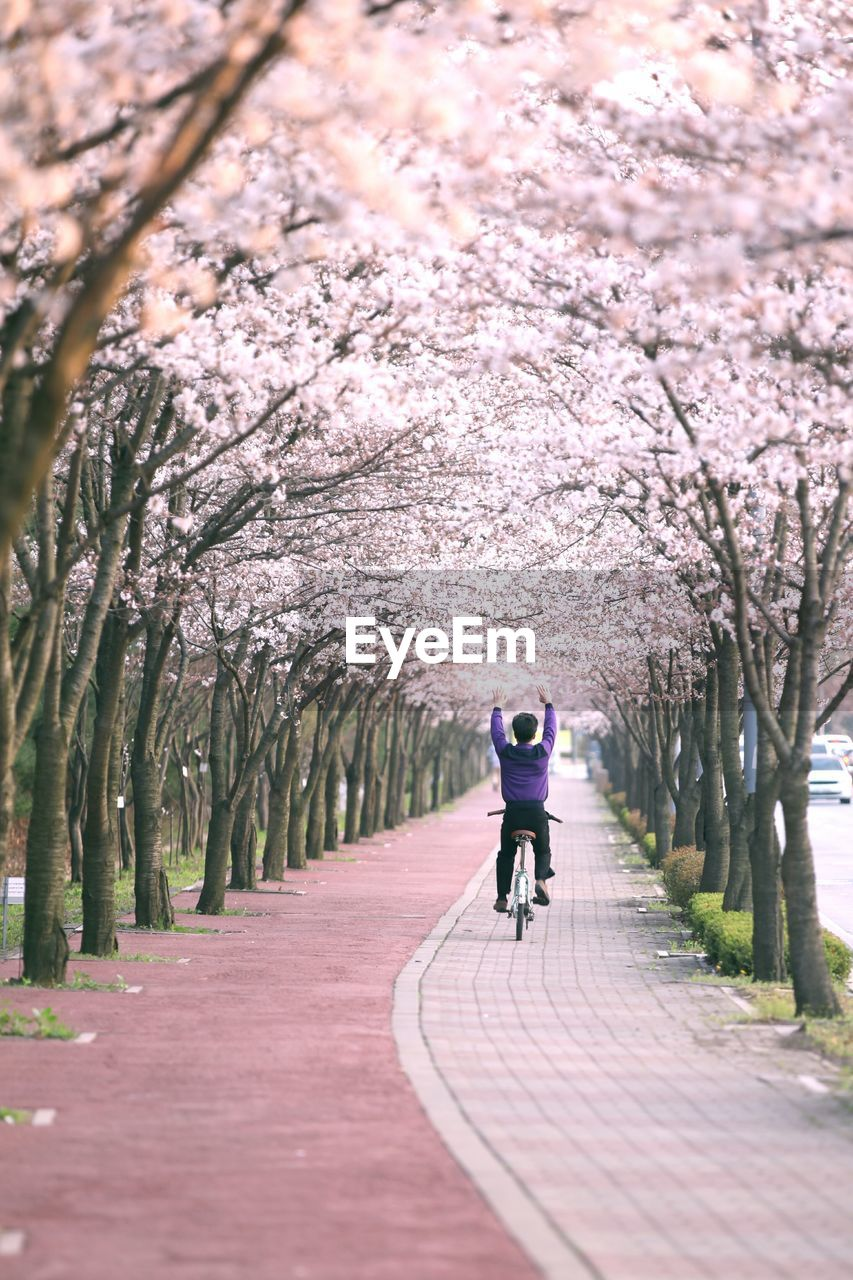 Rear View Of Man Cycling With Arms Raised On Footpath Amidst Cherry Blossom Trees