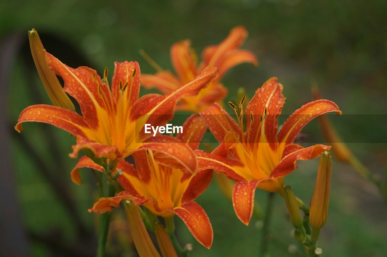 flower, petal, orange color, growth, beauty in nature, nature, freshness, flower head, fragility, plant, blooming, day lily, focus on foreground, day, close-up, water, outdoors, no people