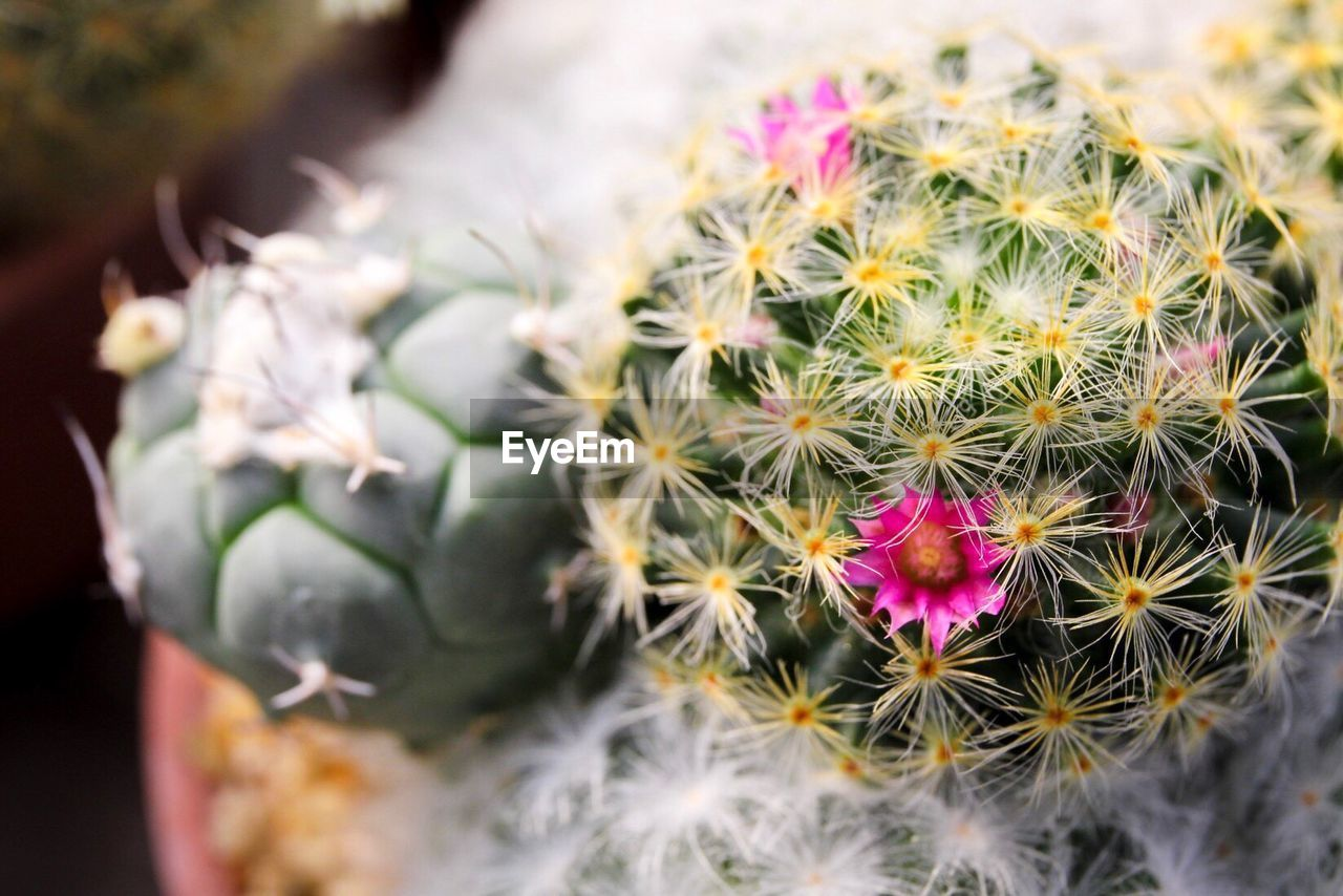 plant, flower, flowering plant, beauty in nature, succulent plant, freshness, cactus, growth, vulnerability, fragility, inflorescence, close-up, flower head, nature, thorn, petal, focus on foreground, spiked, potted plant, no people, outdoors, flower arrangement, bouquet