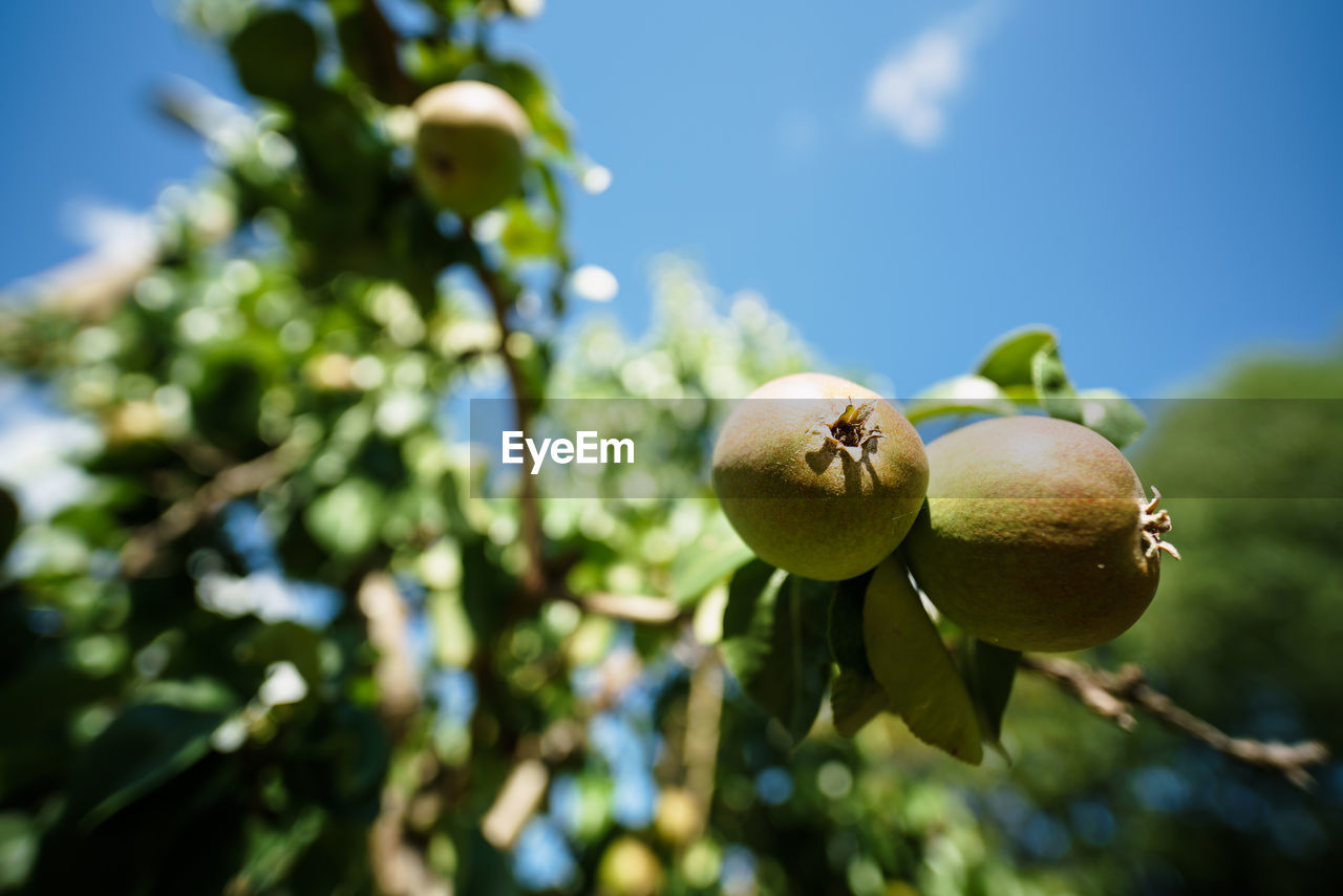 Harz Food Fruit Plant Food And Drink Freshness Growth Healthy Eating Tree No People Nature Close-up Day Sky Focus On Foreground Low Angle View Beauty In Nature Sunlight Green Color Leaf Selective Focus Outdoors Ripe
