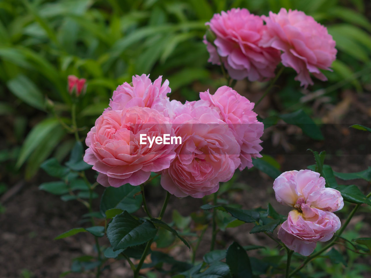 flower, beauty in nature, plant, flowering plant, vulnerability, fragility, petal, freshness, pink color, close-up, growth, flower head, inflorescence, nature, rose, leaf, plant part, rose - flower, focus on foreground, no people, outdoors