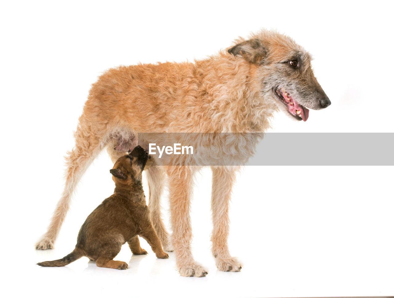 Dog Feeding Puppy Against White Background