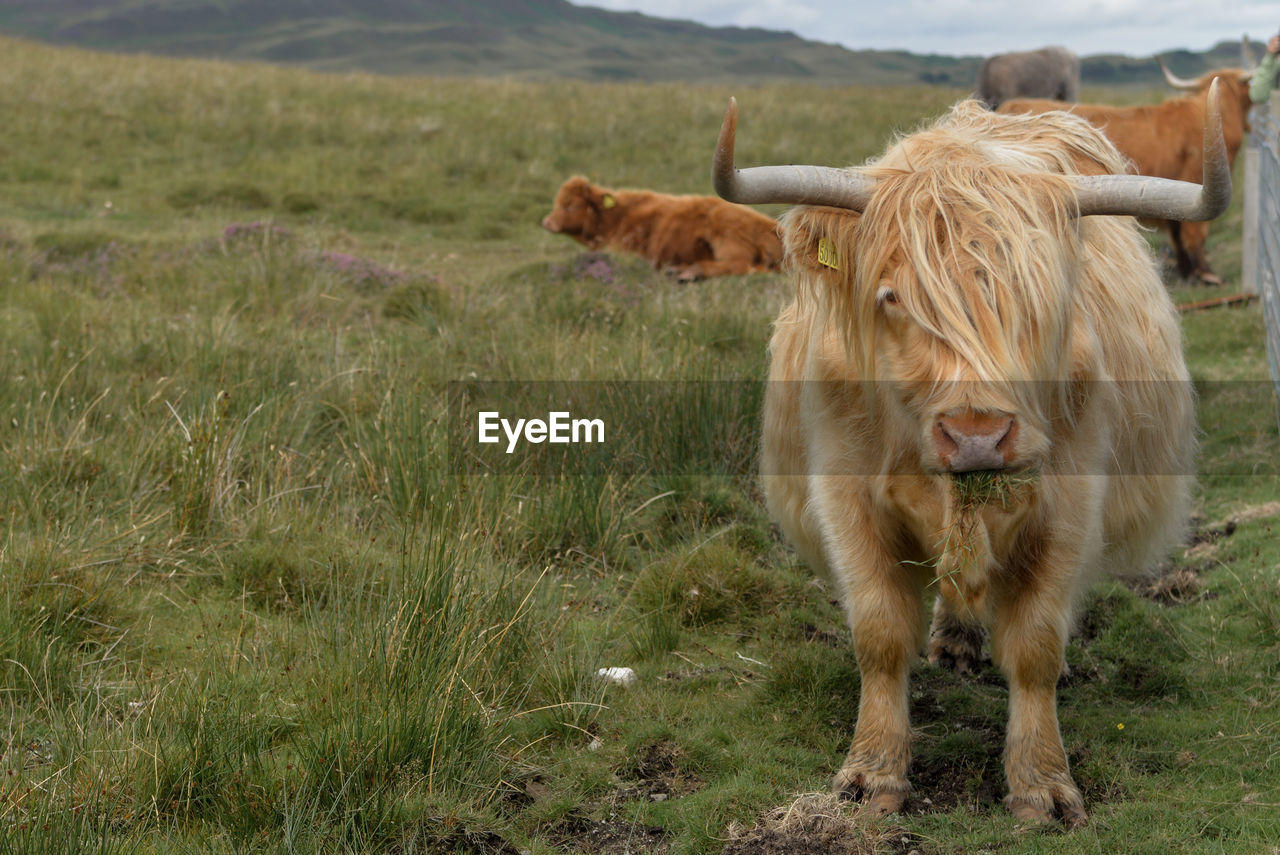 animal themes, mammal, animal, land, domestic animals, field, pets, vertebrate, grass, cattle, domestic, one animal, plant, livestock, domestic cattle, cow, standing, no people, nature, day, outdoors, herbivorous