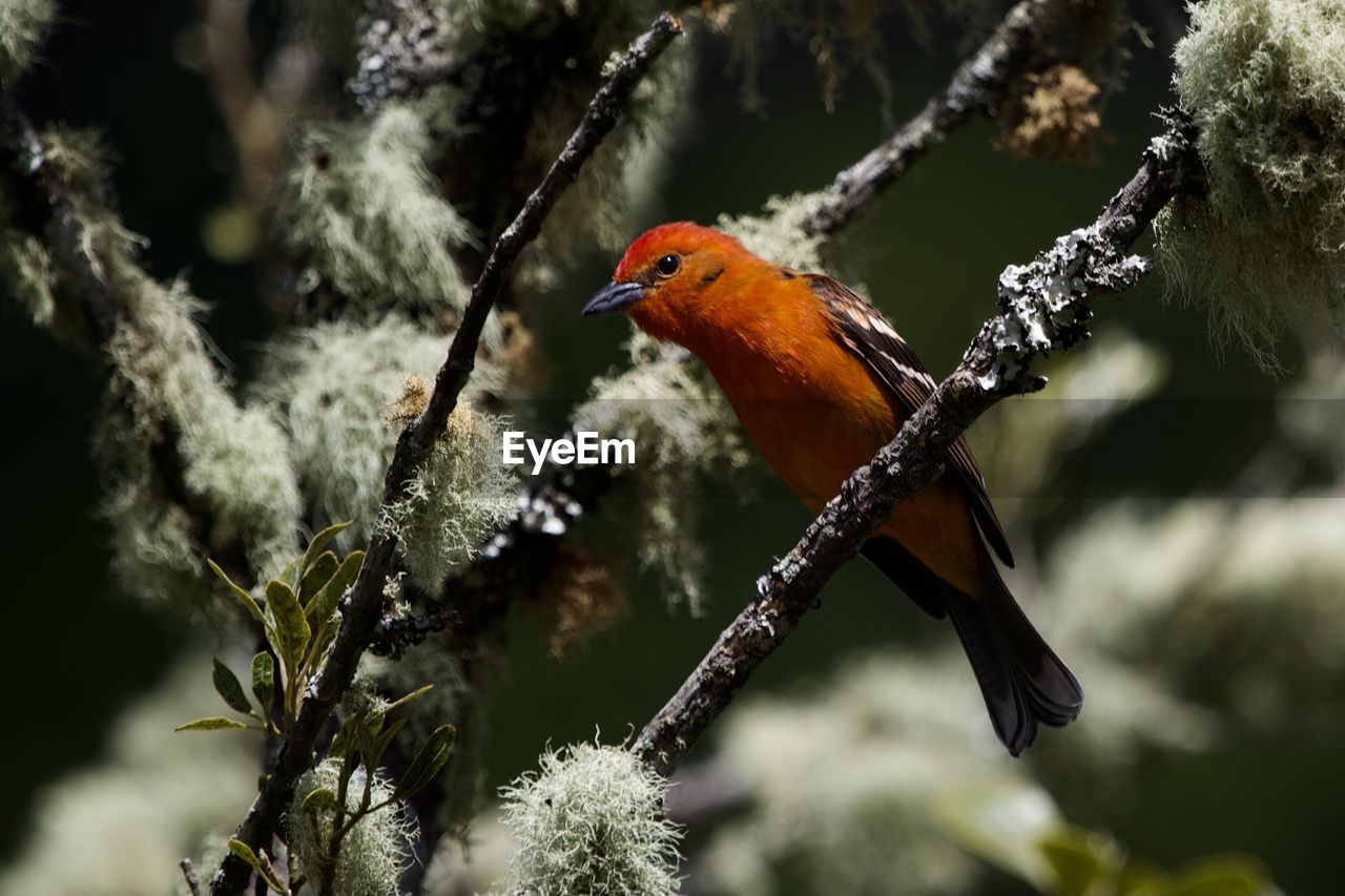 animal themes, animals in the wild, bird, animal wildlife, one animal, animal, perching, vertebrate, tree, plant, branch, beauty in nature, day, orange color, nature, no people, focus on foreground, selective focus, outdoors, robin