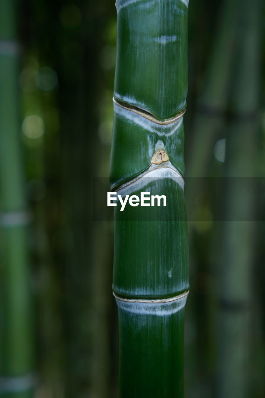 green color, focus on foreground, no people, nature, day, outdoors, close-up, water, beauty in nature, bamboo - plant, bamboo grove, plant, growth