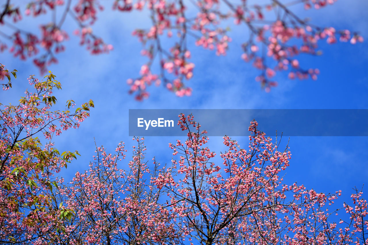beauty in nature, low angle view, tree, branch, nature, flower, growth, day, blossom, blue, no people, sky, springtime, outdoors, fragility, freshness, tranquility, scenics, backgrounds, close-up