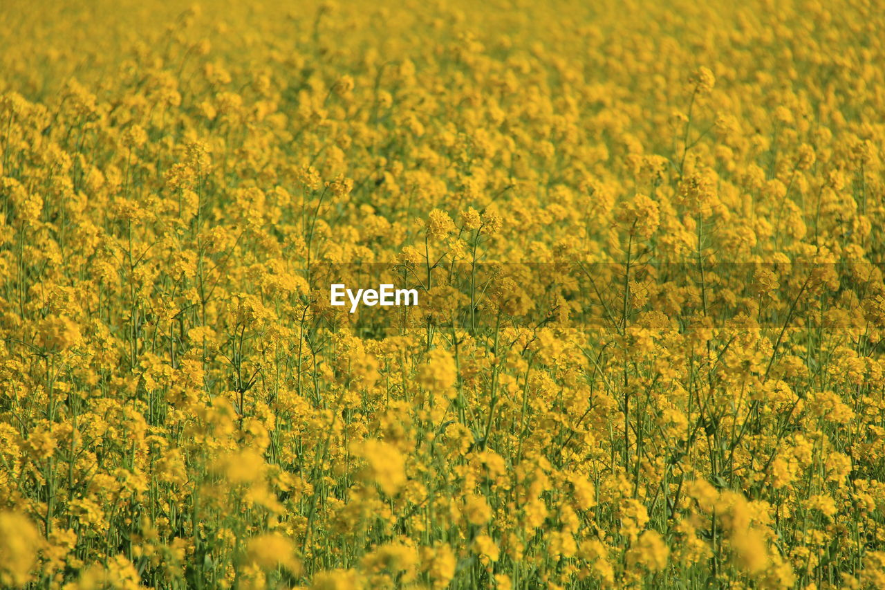 yellow, flower, flowering plant, agriculture, field, land, beauty in nature, plant, crop, rural scene, abundance, farm, oilseed rape, freshness, landscape, growth, scenics - nature, no people, full frame, tranquility, outdoors, springtime, flowerbed