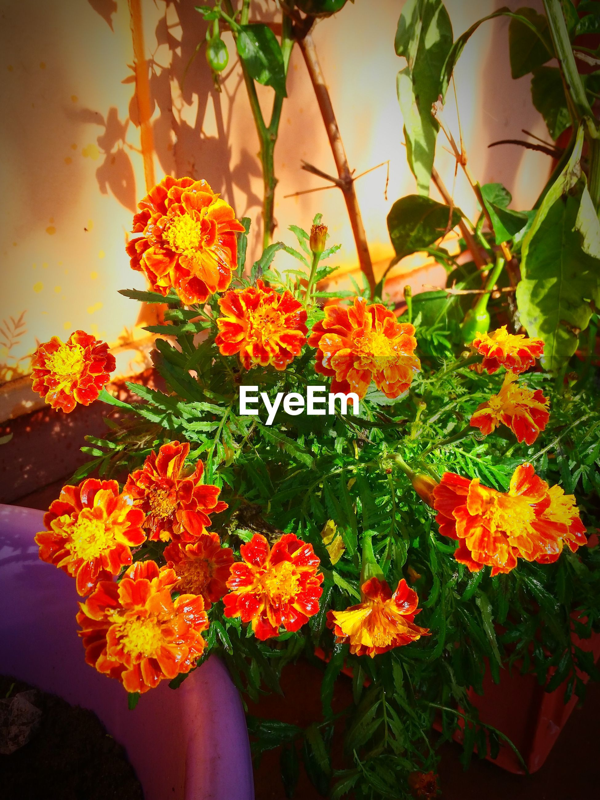 flower, petal, freshness, fragility, growth, beauty in nature, yellow, plant, flower head, orange color, nature, leaf, blooming, in bloom, potted plant, close-up, blossom, no people, sunlight, botany